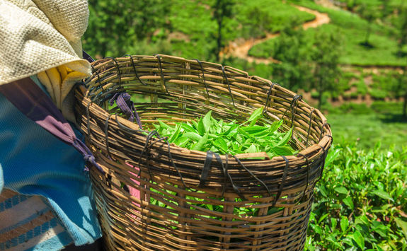 Green tea leaves in a tea plantation