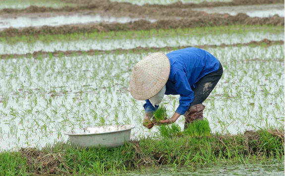 Working at a rice field in Vietnam