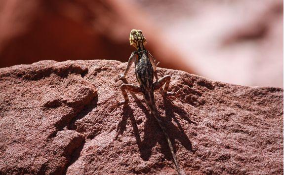 agama climbs on rock