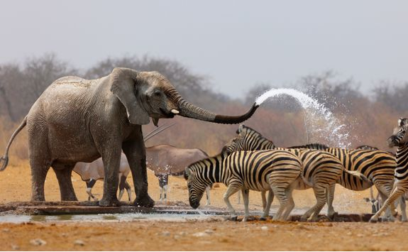 elephant spraying zebra with water