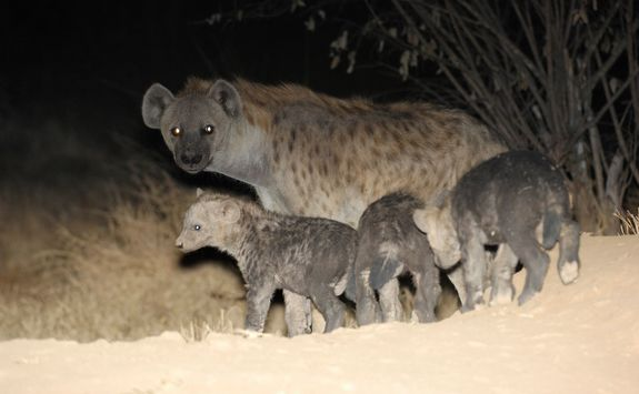 hyana family at night