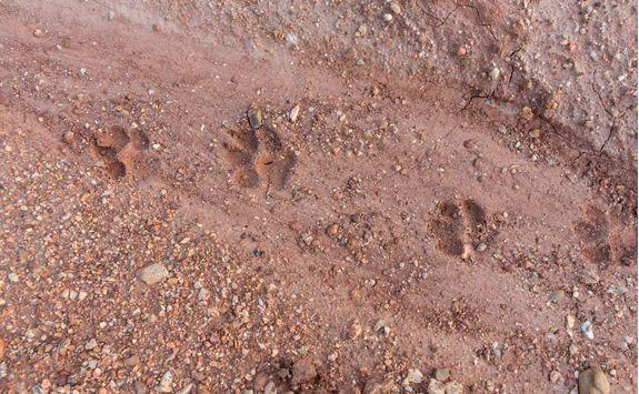 tiger foot step