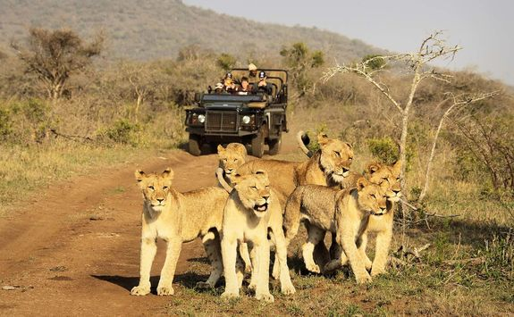 Thanda game drive with lions