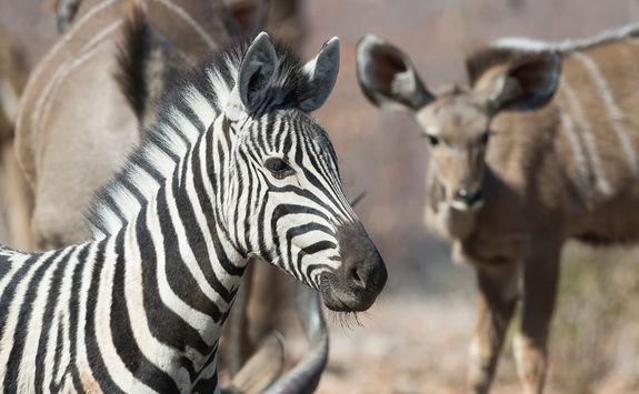 Zebra at Ongava