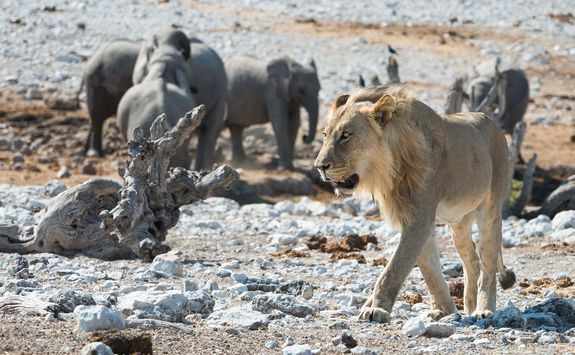Lion at Ongava