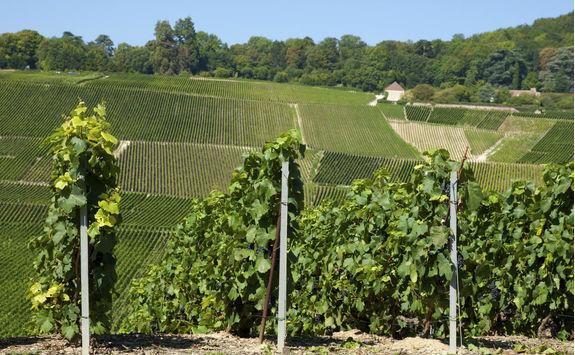 Vineyards in Hautvillers