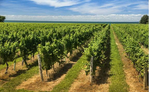Wine vineyard on a sunny day