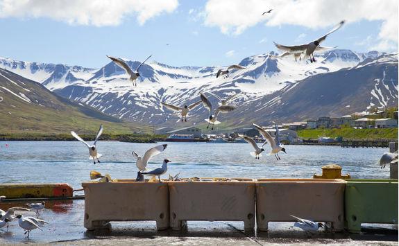 Seagulls flying at Siglufjorour harbour
