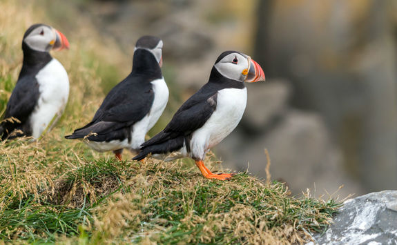 Three Atlantic Puffin on grass