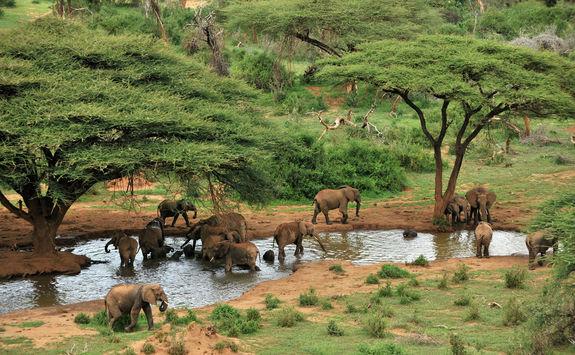 Elephant herd at waterhole and acacia trees