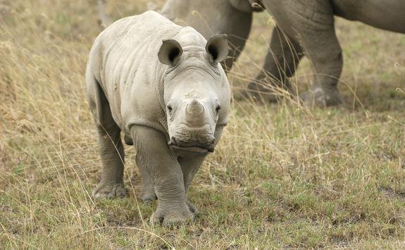 Baby wild white rhino
