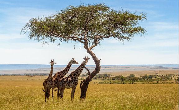 Three giraffes under acacia tree