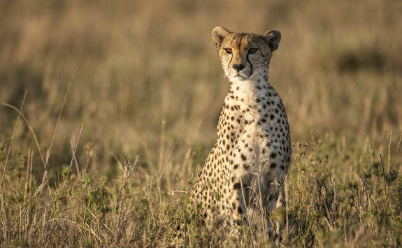 Wild cheetah sitting looking out across the savanna