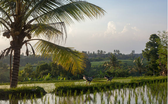 Chickens walking on a rice paddy in Ubud