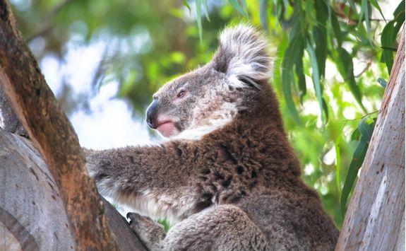 Koala resting in a eucalyptus tree
