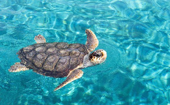 Big sea turtle swimming on water