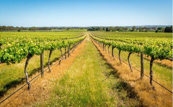 Vineyards in Barossa Valley