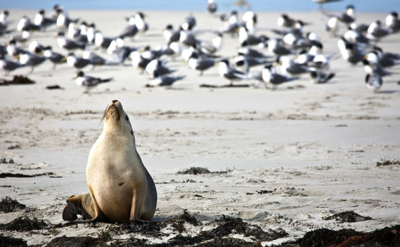 Sea lion in Kangaroo Island
