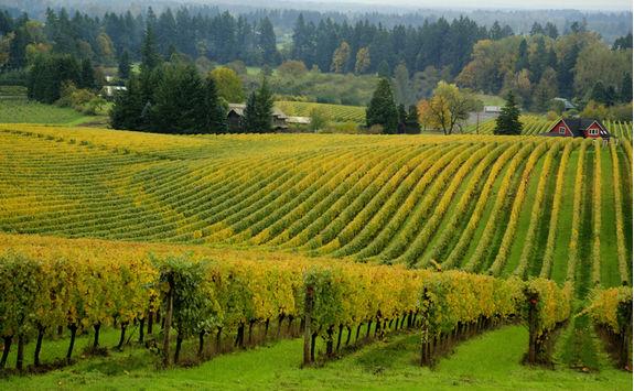 Vineyard in Oregon