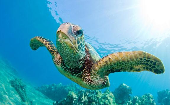 Denis Island sea turtle