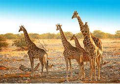etosha giraffe family