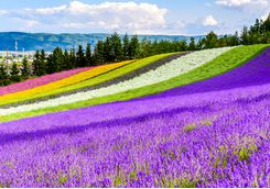 Fields of flowers in Furano