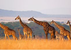 A herd of giraffes in the Serengeti National Park