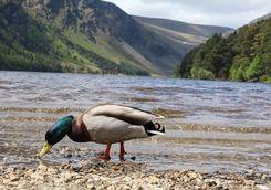 A duck in Glendalough