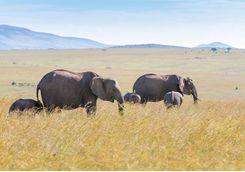 Elephants walking in plain