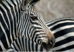 Zebra detail