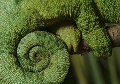 Chameleon's tail