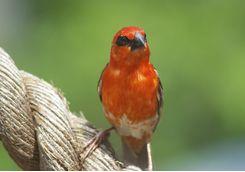 Fody bird in Madagascar