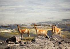 Vicuna in the Atacama