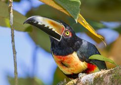 crouched collared aracari