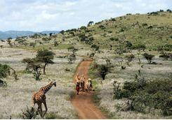 Masai camel herd and giraffe