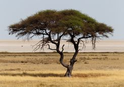 Large Africa tree