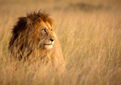 Lion in high grass
