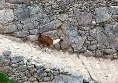 Llama Machu Picchu steps