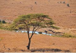 Zebra grazing in lewa downs