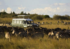 game drive zebra