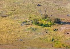 zebras grazing aerial