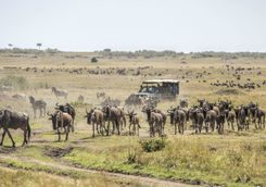 game drive wildebeests