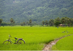 Bicycles and muddy path through rice field