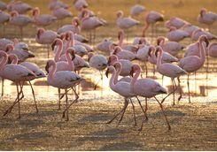 flamingo at walvis bay