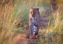 approching leopard