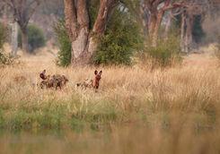 Wild dogs hunting desperate impalas in KwaZulu Natal