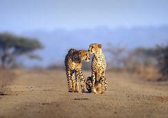 Thanda cheetah