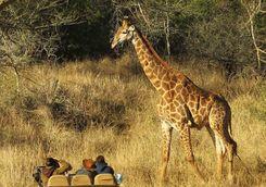 Thanda game drive with giraffe