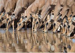 Antelope at Ongava