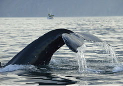 Humpback whale during whale watching